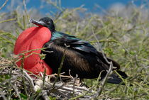 Side view of Great Frigate bird (Frigata minor) in shrub by Sami Sarkis Photography