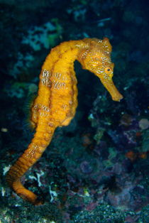 Sea horse (Hippocampus) underwater view von Sami Sarkis Photography