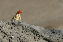 Lava Lizard (Microlophus albemarlensis) on lava rock by Sami Sarkis Photography