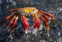 Sally Lightfoot Crab (Grapsus grapsus) von Sami Sarkis Photography