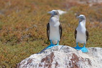 Two Blue-footed Boobies on a rock von Sami Sarkis Photography