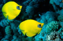 Two masked butterfly fish (Chaetodon semilarvatus) by Sami Sarkis Photography