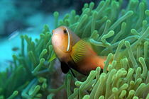 Rm-blackfoot-anemonefish-sea-anemones-uwmld0366