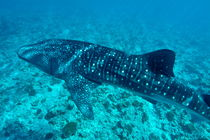 Spotted whale shark (rhincodon typus) swimming in Ari Atoll von Sami Sarkis Photography