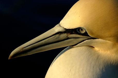 Rf-beak-france-gannet-head-portrait-seabird-ani189