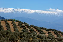 Rows of olive trees against the snowy Alpujarras mountains  in Andalusia by Sami Sarkis Photography