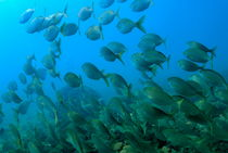 School of Salema fishes Sarpa salpa by Sami Sarkis Photography