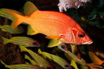 Rf-blue-striped-snapper-colorful-underwater-uwmld0457