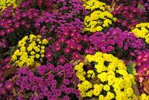 Rf-blooming-flowers-tuileries-garden-vibrant-fra566