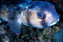 Portrait of a Freckled Porcupinefish (Diodon holocanthus) by Sami Sarkis Photography