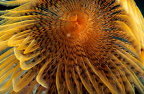 Feather Duster Worm (Sabella spallanzanii) with bright yellow 'feathers'. von Sami Sarkis Photography