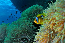 Anemonefish in sea anemone by Sami Sarkis Photography
