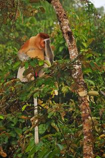 Male Proboscis monkey in rainforest by Sami Sarkis Photography