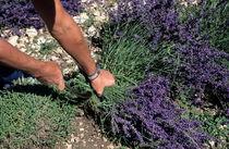 Man harvesting lavender flowers in field von Sami Sarkis Photography