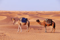Two camels in the Sahara Desert von Sami Sarkis Photography