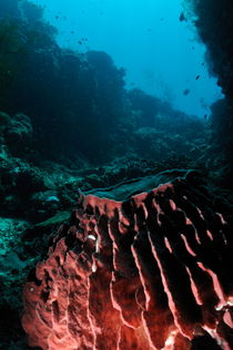 Barrel Sponge by Sami Sarkis Photography
