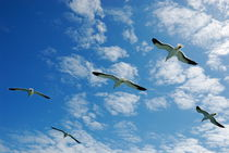 Flock of five Seagulls flying in the sky von Sami Sarkis Photography