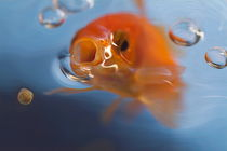 Goldfish opening mouth to catch food von Sami Sarkis Photography