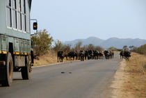 Safari truck stopped by a herd of African buffaloes von Sami Sarkis Photography