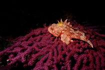 Scorpion Fish (Scorpaena Scrofa) on red gorgonian by Sami Sarkis Photography