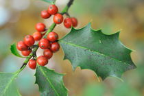 Holly leaves with red berries at fall by Sami Sarkis Photography
