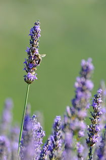 Bee gathering nectar from lavender flowers by Sami Sarkis Photography