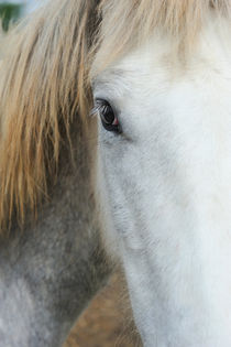 Camargue horse portrait by Sami Sarkis Photography