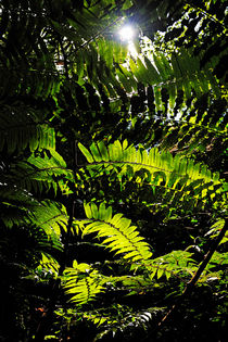 Sun spotting through fern leaves in rainforest by Sami Sarkis Photography