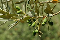 Green Olives on tree von Sami Sarkis Photography