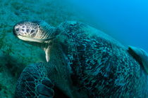 Green turtle (Chelonia midas) eating on sea bedt von Sami Sarkis Photography