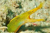 Yellow Ribbon eel  von Sami Sarkis Photography