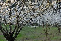 Almond tree in flower at spring von Sami Sarkis Photography