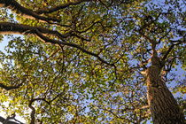 Trees and trunks at fall von Sami Sarkis Photography