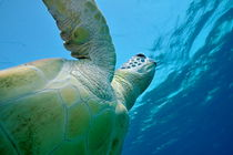 Green turtle moving up to breath by Sami Sarkis Photography