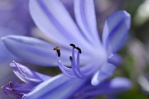 Purple flower close-up by Sami Sarkis Photography