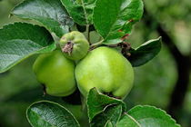 Green non-mature apple on tree by Sami Sarkis Photography