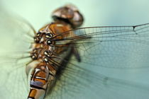 Dragonfly close-up von Sami Sarkis Photography