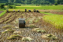 Peasants harvesting a rice paddy using a machine von Sami Sarkis Photography
