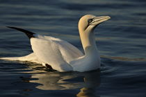 One Northern Gannet (Morus bassanus) swimming at sunrise von Sami Sarkis Photography