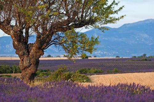 Rm-agriculture-crop-france-lavender-sunset-lds357
