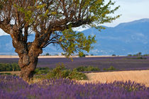 Tree in a lavender field at sunset von Sami Sarkis Photography