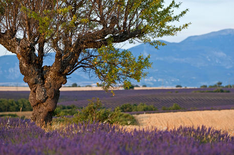 Rm-agriculture-crop-france-lavender-sunset-lds357