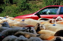 Red car blocked by a flock of sheep leaving the Espérou village for summer transhumance von Sami Sarkis Photography