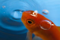 Goldfish opening its mouth to catch it's food. von Sami Sarkis Photography
