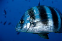 Striped Zebra Seabream (Diplodus cervinus cervinus) swimming in blue waters von Sami Sarkis Photography