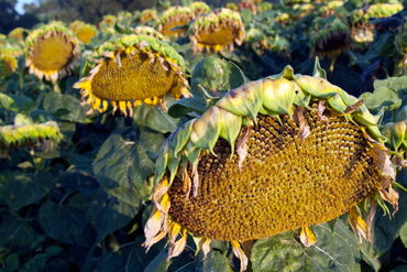 Rf-agriculture-dying-france-sunflower-field-fra436