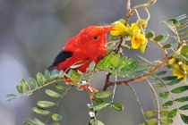 One 'I'iwi bird extracting nectar from yellow tree flowers in Maui von Sami Sarkis Photography