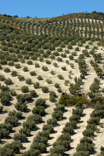 Rows of olive trees growing in the village of Baena von Sami Sarkis Photography