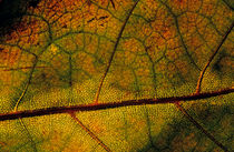Intricate and natural patterns of a leaf during autumn. by Sami Sarkis Photography