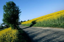 Road going through oilseed rape fields by Sami Sarkis Photography